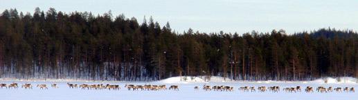 Metsäpeuroja // Kuva: Pääkkönen Tapani