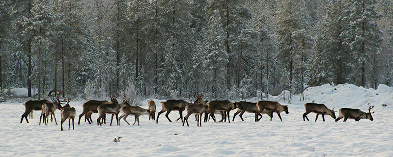Metsapeurat // Kuva: Pääkkönen Tapani