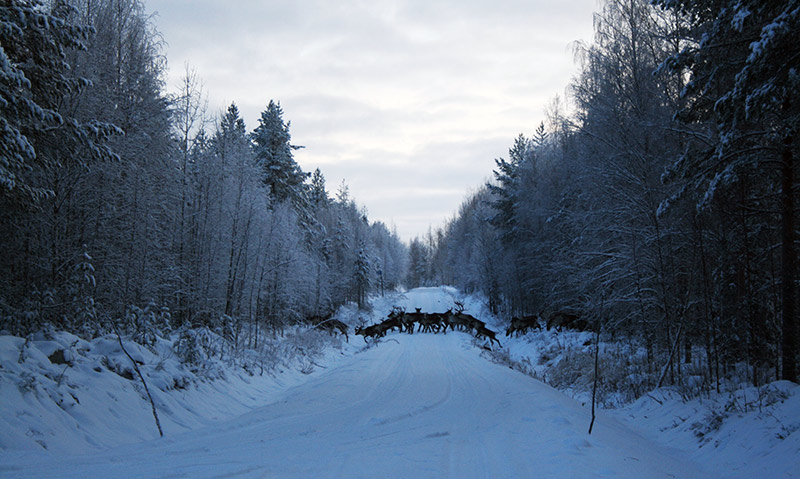 Metsäpeurat // Kuva: Pääkkönen Tapani